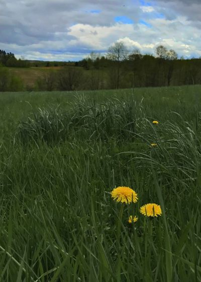 Dandelion flowers in a field. Dandelion Flower Grass Field Yellow Landscape Vertical Green Color Outdoors No People Rural Scene Scenics