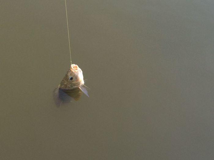 Fish caught in fishing rod