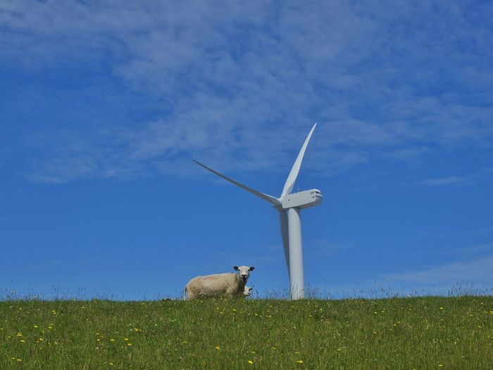 Windmill Sheep Blue Sky Grassgreen Grass Natures Diversities