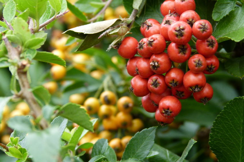 Macro Photography Pyracantha Coccinea Scarlet Firethorn Yellow Berries Close-up Berries Green Plant Part Macro Berries Pyracantha Berries Red Berries