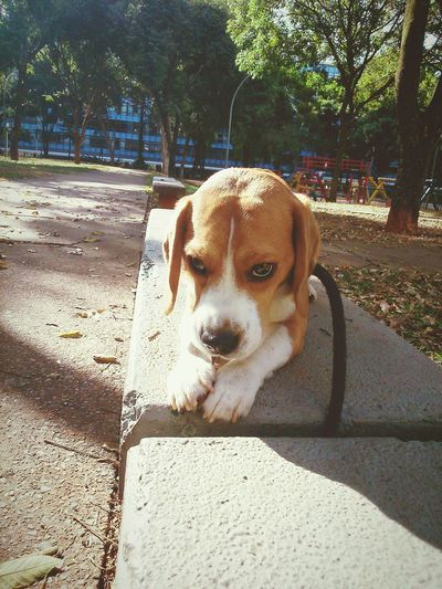 Beagle Dog City Urban EyeEm Beagles Of Eyeem Capture The Moment Animal Themes Domestic Animals Pets Beagles Of Eyyem Beagle Dog Beaglelovers Beauty In Nature