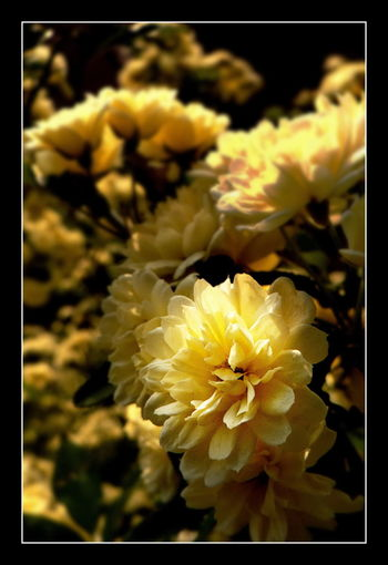 Beautiful Flower Beauty In Nature Floral Glowing Flower Leica Lens Yellow Flower Yellow Flowers Visual Creativity