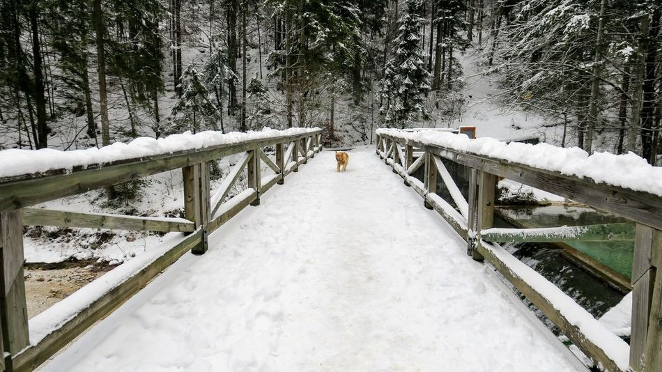 Golden Retriever Beauty In Nature Cold Cold Temperature Day Forest Frozen Ice Nature No People Outdoors Railing Snow Snowflake Snowing Tranquility Tree Weather White White Color Winter Shades Of Winter