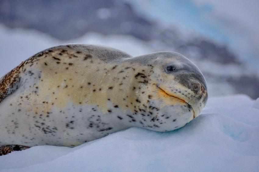 Antarctica Nature Iceberg Seals Ziseetheworld Ziwang Ice Antarctic Peninsula Crabeater Seal Crabeater