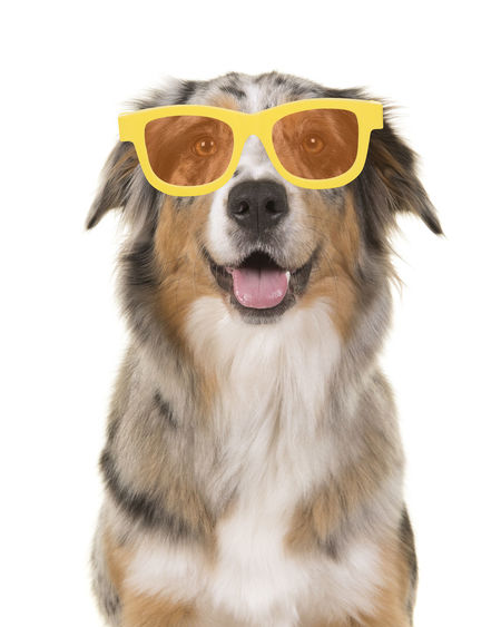 Portrait of a happy smiling australian shepherd dog wearing yellow summer glasses on a white background Cute Dog  Glasses Australian Shepherd  Aussie Portrait Dog Portrait Smiling Animal Pets Dog White Background Canine Smile Smiling Dog