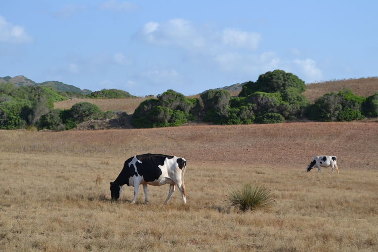 Animals In The Wild Field Fieldscape Freedom Menorca _ Spain Nature Nature Photography SPAIN Animals Baleares Cow Cows In A Field Europe Healthy Lifestyle Healthylife Lifestyles Menorca Nature_collection Outside