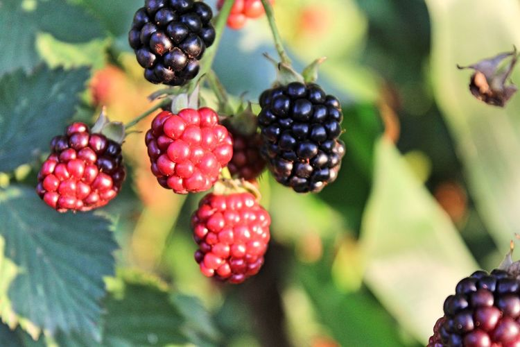 Blackberry Close-up Day Focus On Foreground Food Food And Drink Freshness Fruit Growing Growth Healthy Eating Outdoors Red Tree