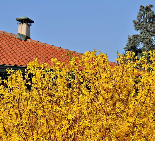 Желтые цветы и