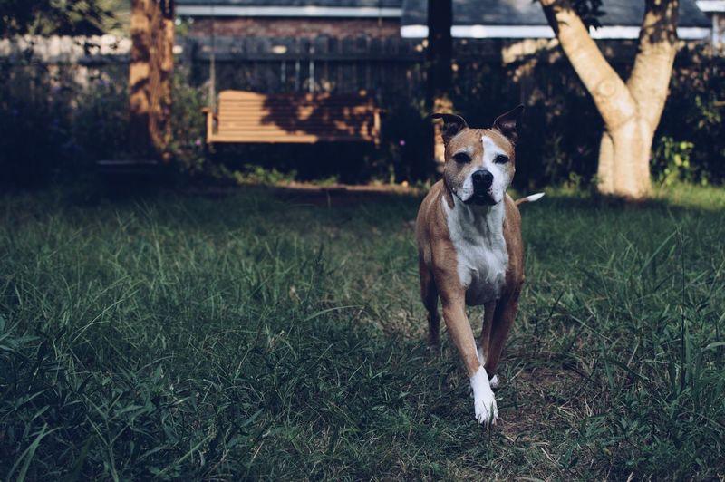 Dog standing in grassy field