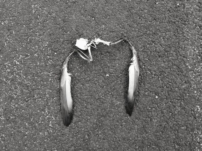 Blackandwhite Pigeon Feathers Morbid Tar Road High Angle View Close-up Skeleton Animal Bone Dead Animal