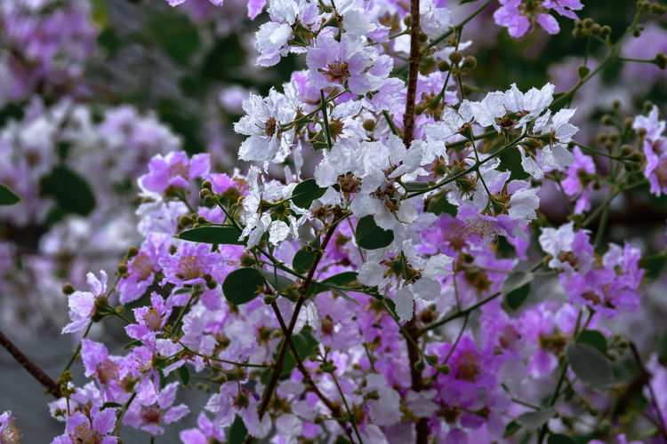 Close-up of purple cherry blossoms in spring