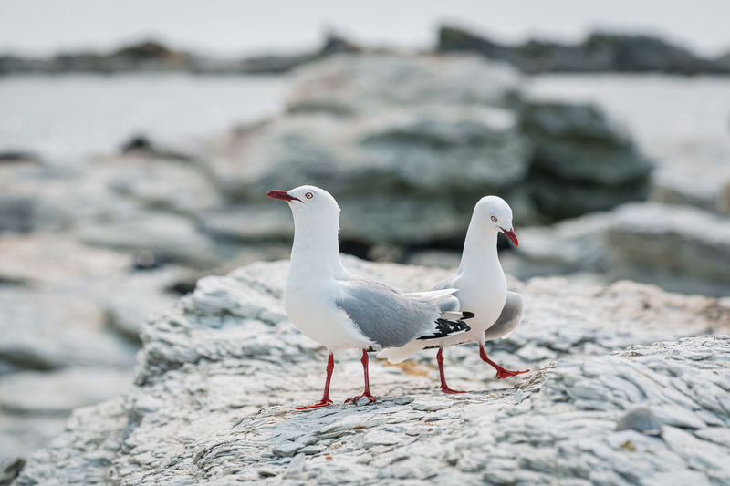 Pair of seagulls perching on a rocky beach
