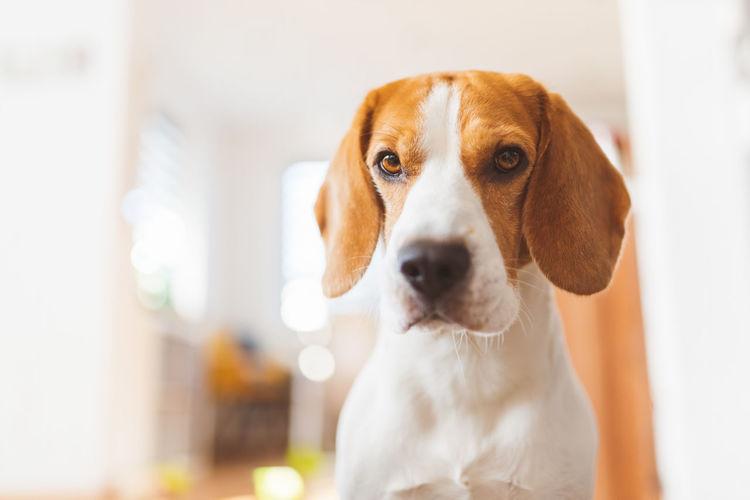 Close-up portrait of beagle dog