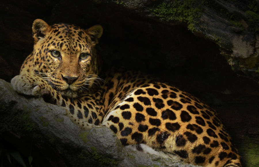Animal Leopard Wildlife