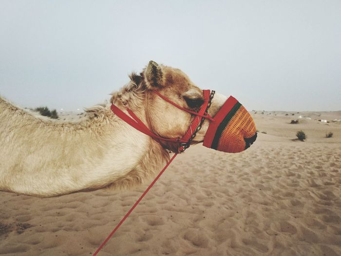 EyeEm Selects Camel Sand Domestic Animals One Animal Animal Themes Desert Sand Dune Outdoors Nature Mammal Day No People