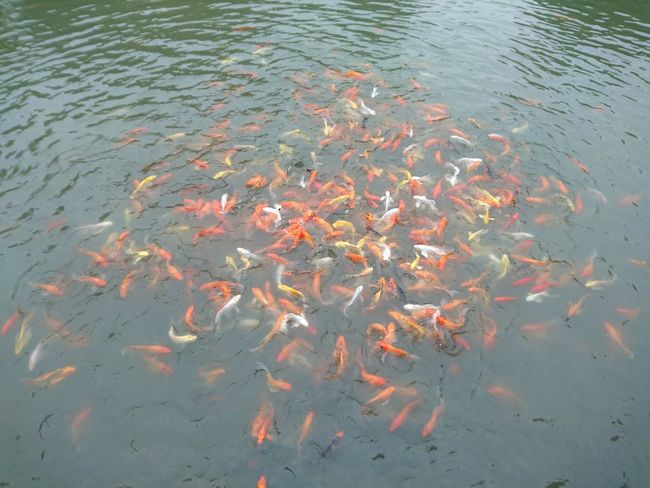 Fish Water Swimming Carp Nature Animal Themes Sea Life Large Group Of Animals Animals In The Wild School Of Fish Koi Carp High Angle View Day Outdoors Multi Colored Close-up No People Beauty In Nature Togetherness Eyeem Collection