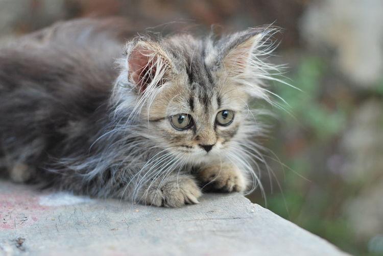 Portrait of kitten relaxing outdoors