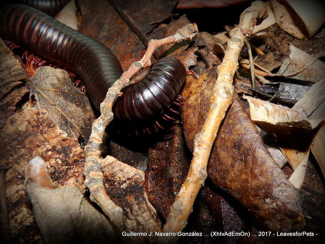 Archispirostreptus Gigas Close-up Day Diplopoda Millipeda Millipede Millipedes Milpies Milpies Milpiés Gigante Africano, No People