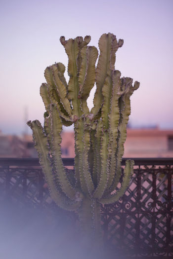 Close-up of succulent plant against sky during sunset