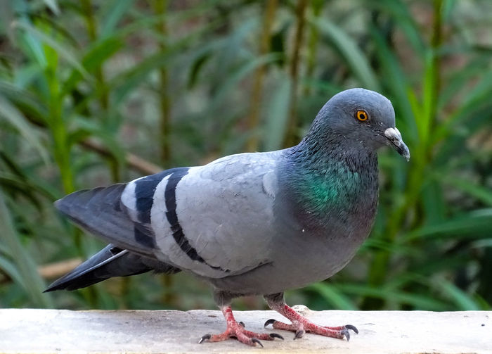 Close-up of pigeon perching outdoors