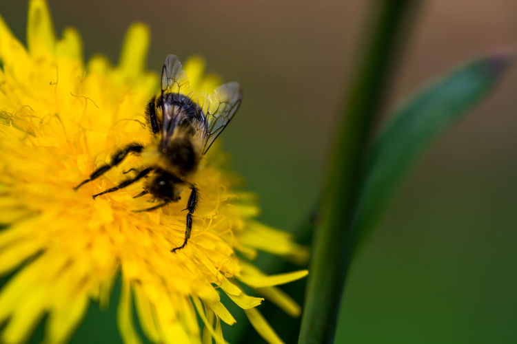 Bee sitting on a flower Animal Animal Themes Animal Wildlife Animals In The Wild Beauty In Nature Bee Close-up Flower Flower Head Flowering Plant Fragility Freshness Growth Insect Invertebrate No People One Animal Outdoors Petal Plant Pollen Pollination Vulnerability  Yellow
