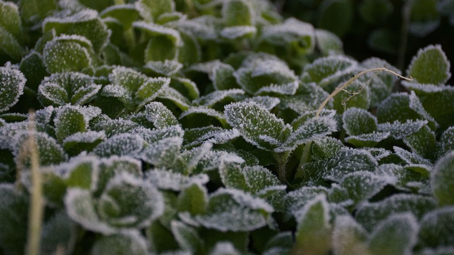 Close-up of snow covered leaves