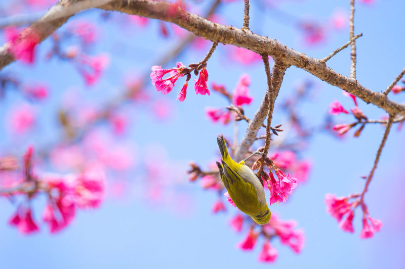 Oriental White eye Oriental White Eye Beauty In Nature Branch Close-up Day Flower Flower Head Fragility Freshness Growth Leaf Nature No People Outdoors Pink Color Plant Sky Springtime Tree