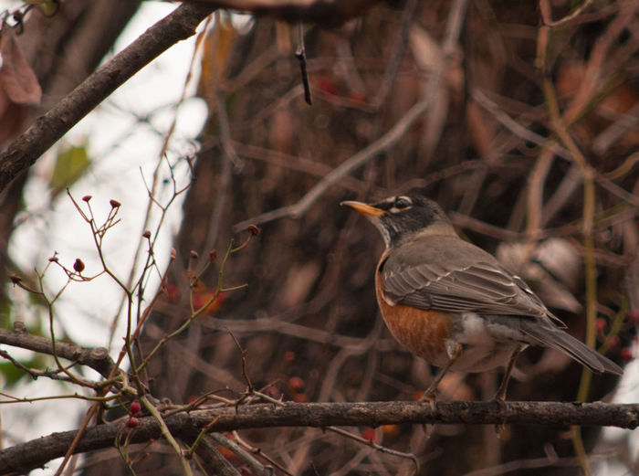 American Robin Animal Themes Animal Wildlife Beauty In Nature Branch My Point Of View My Unique Style Nature Nature Photography One Animal Perching Wildlife Wildlife & Nature Wildlife And Nature Wildlife Photography