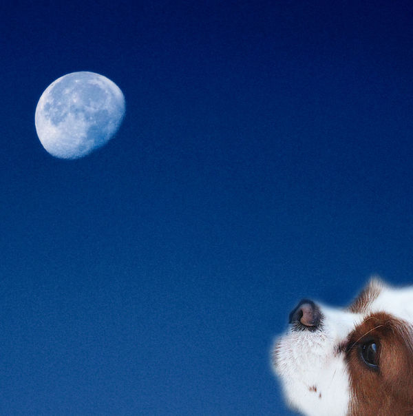 Cavalier King Charles Spaniel Collage Blue Moon Composite Digital Art Digital Composite Moon Sloy Moonstruck
