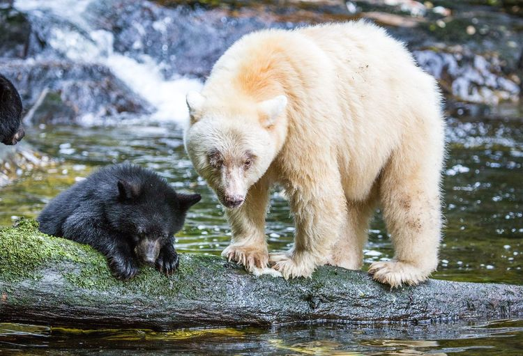 Spirit Bear with one of her cubs. Spirit Bears, also known as Kermode bears are not albino. They are a Black bear with a different gene. Great Bear Forest, BC, Canada. September 2014. Bear Spirit Bear  Animal Wildlife Animal Animals In The Wild Young Animal Bear Cub EyeEmNewHere Canada BC