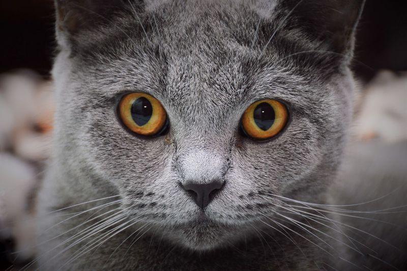 Close-up portrait of chartreux cat