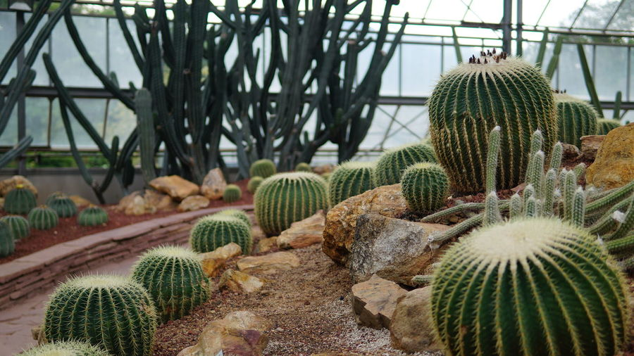 Saguaro Cactus Greenhouse Prickly Pear Cactus Cactus Thorn Close-up Plant Green Color Barrel Cactus Sharp Needle - Plant Part