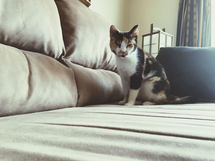 EyeEm Selects Pets Animal Themes Domestic Animals Sofa One Animal Domestic Cat Mammal Indoors  Cat Cats Calico Calico Cat Calicocat Feline Sitting Bed Relaxation No People Day Portrait