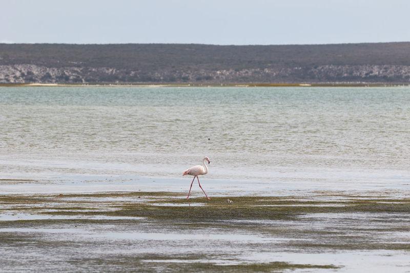 Flamingo wading on shore at beach