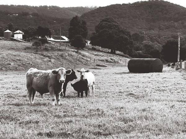 Cows Cows Animal Themes Livestock Mammal Grass Cow Landscape Nature Rural Scene Cattle Agriculture