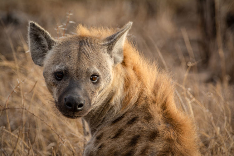 Close-up portrait of hyena in kruger
