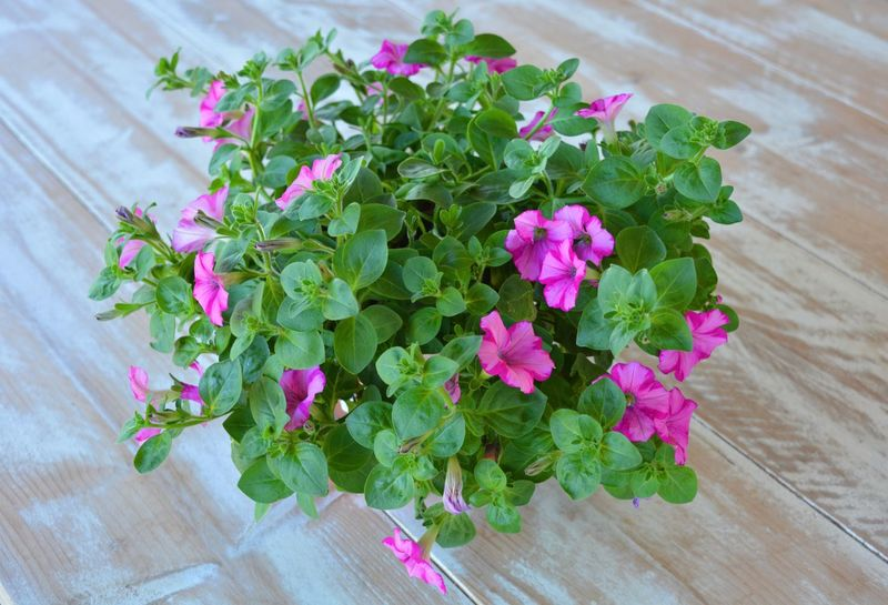 Trailing petunia plant on a wooden table. High angle view. Flower Growth Leaf Plant High Angle View Wood - Material Table Green Color Pink Color Freshness No People Nature Fragility Petal Indoors  Day Close-up Beauty In Nature Flower Head Trailing Plant Trailing Petunia Petunia Petunias In Full Bloom Petunia From Above Potted Plant