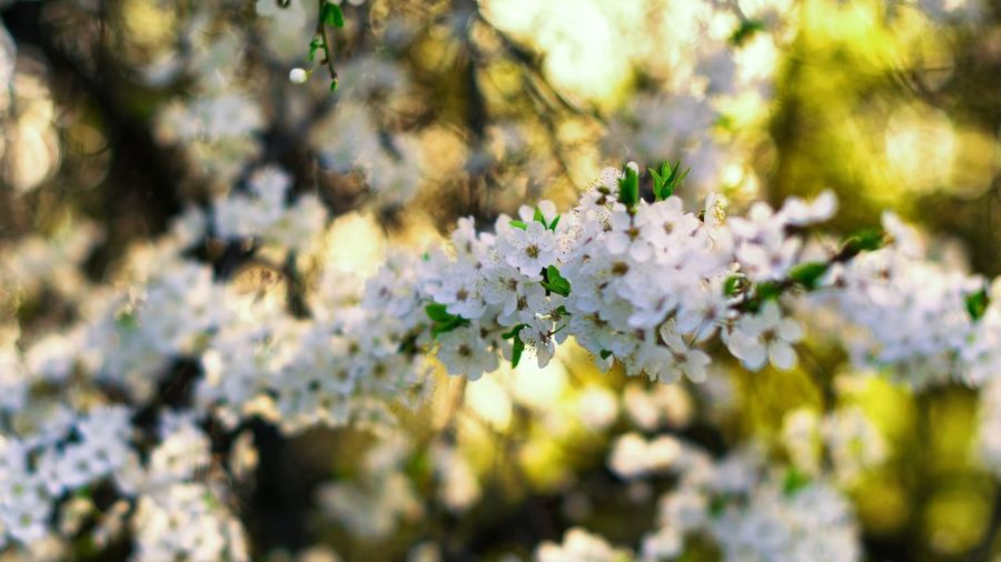 Plant Flower Flowering Plant Fragility Vulnerability  Freshness Beauty In Nature Inflorescence Branch Focus On Foreground Selective Focus Nature Blossom No People Close-up Day Springtime Growth White Color Tree