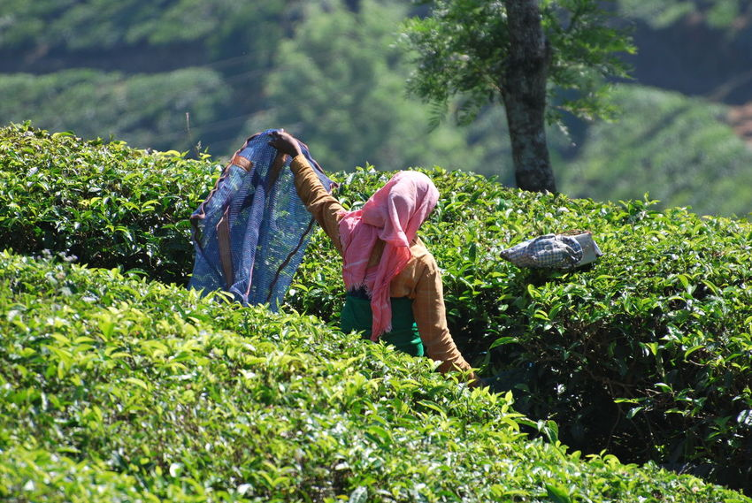 Tea Adult Basket Casual Clothing Day Farmer Field Full Length Green Color Growth Land Leisure Activity Nature Outdoors People Plant Real People Rear View Tea Plant Tree Women