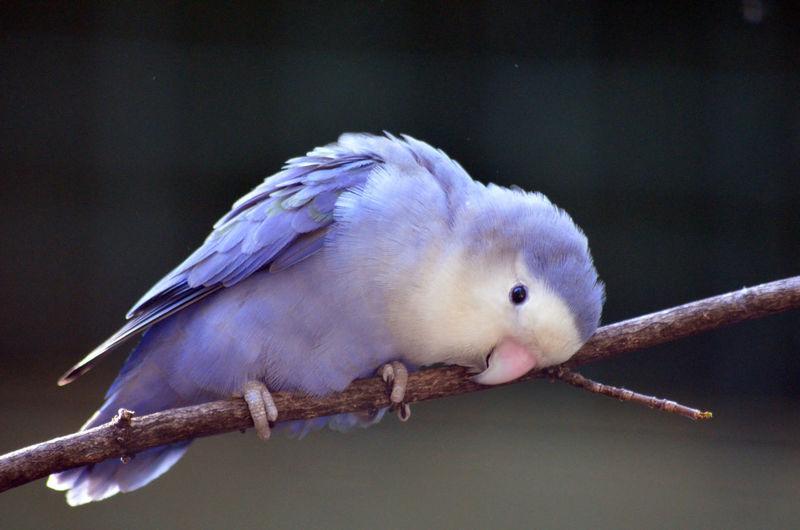 Close-up of purple bird perching on branch