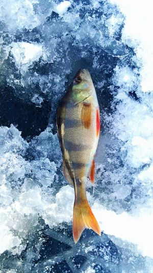No People Freshness Fish Ice Ice Fishing Perch Nature Fishing Fishing Time Cold Temperature Lithuania Lithuania Nature Beauty In Nature Beauty Outdoors Blue Nice View Lake Fishing Area Freshness Snow Ice Crystals Close-up Nature Day