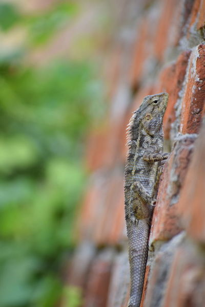 Indian chameleon (Kanchido) Reptile Animal Wildlife Animals In The Wild Lizard One Animal Animal Themes Chameleon No People Outdoors Close-up Nature Tree Sun Sunlight Sunset Groundnuts Tree Area