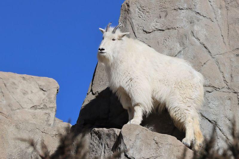 Colorado mountain goat standing on a rock.