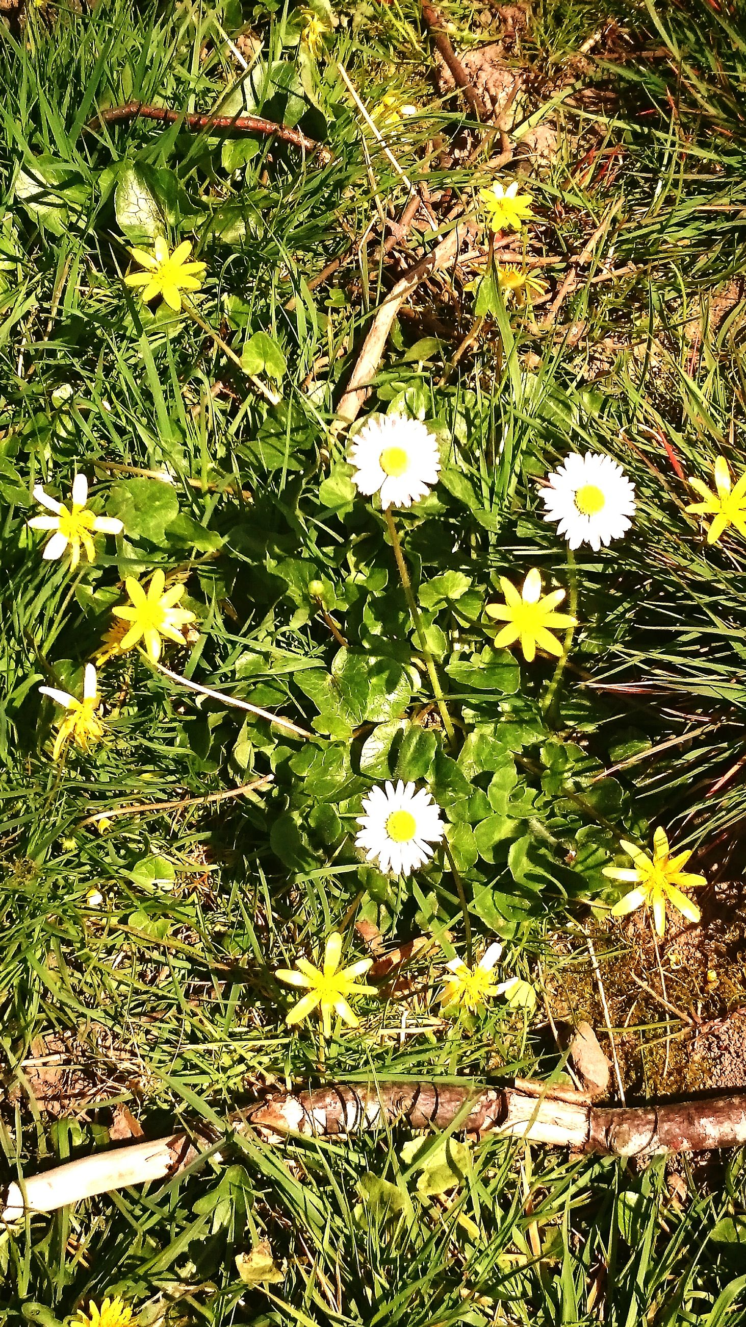 flower, growth, freshness, fragility, white color, plant, beauty in nature, high angle view, petal, nature, field, blooming, grass, flower head, daisy, in bloom, wildflower, dandelion, green color, stem