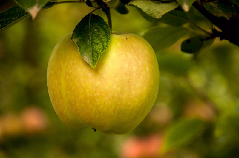 Green Apple EyeEmNewHere Apple - Fruit Apple Tree Beauty In Nature Citrus Fruit Close-up Day Focus On Foreground Food Food And Drink Freshness Fruit Green Color Growth Healthy Eating Leaf Nature No People Outdoors Tree