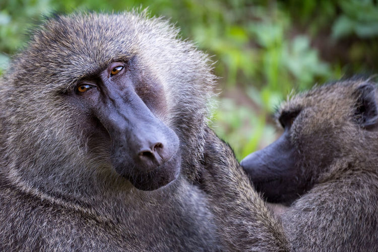 HEAD Baboon Close-up Face Headshot Monkey Olive Baboon Primate