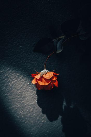 Close-up of wilted orange flower