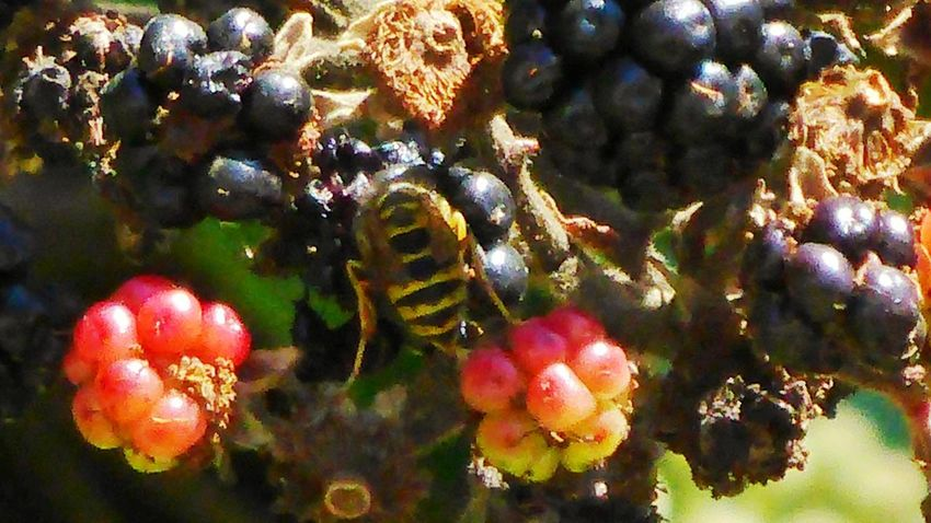 Wasp Close Up Bee 🐝 Guêpe🐝 Fruits And Insect Blackberries Hiden Insect Between Fruits Hide-and-seek No People Close-up Growth Outdoors Freshness Tree Branch Full Length Beauty In Nature Nature Perching Tranquility Animal Themes One Animal Animal Wildlife Loire-atlantique Bretagne France🇫🇷