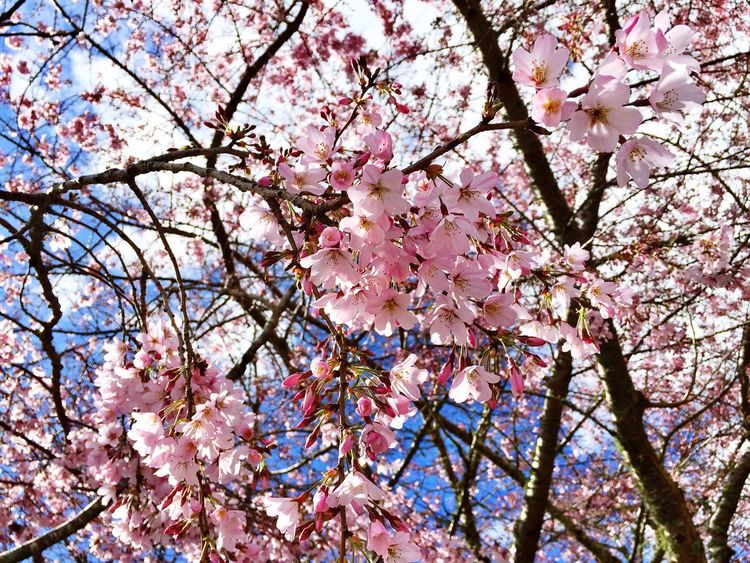 Cherry Blossoms Flowers Good Whether ♥ Pink Flower Springtime
