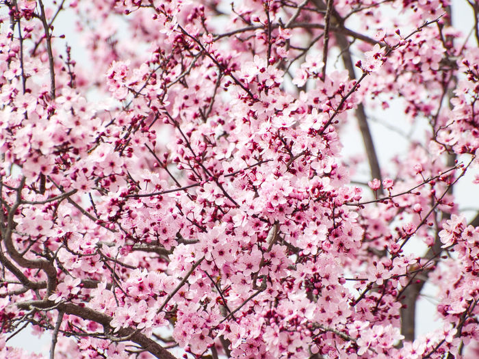 Backdrop Background Background Texture Backgrounds Beauty In Nature Blooming Blossom Branch Flower Fragility Freshness Graphic Design Growth Nature No People Organic Textures Pattern Pink Color Spring Springtime Texture Texture_collection Textures And Surfaces Tree Wallpaper
